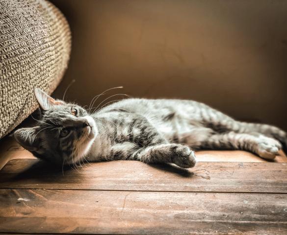 Cat Lazy