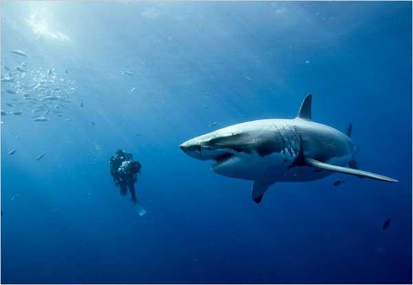 Shark Wallpaper Hd Megalodon Wallpapers 52 Images