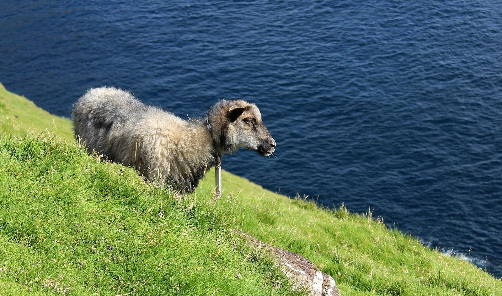faroese-sheep
