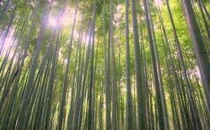 2015-08-11 (bosc bambu Arashiyama)