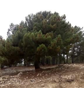 árbol enraizado s