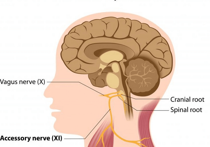 To Heal Vagus Nerve Toxicity With Essential Oils