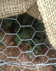 Here you can see the kind of chicken wire we have used inside the burlap enclosure.