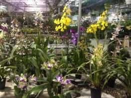 A variety of orchids at the Vandermeer Nursery, Ajax.