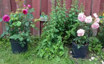 Two of my first roses - Othello and Memorial Day, waiting to be planted while I am preparing a space for them.