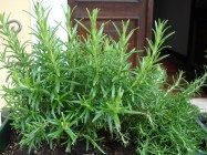 A rosemary herb growing in a pot, Spiazzi, Italy.
