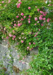 Pink roses handing from one of the walls in Spiazzi, Italy.