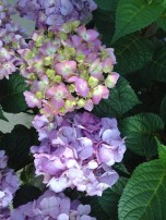 """BloomStruck"" hydrangea from the Endless Summer series (Hydrangea macrophylla), which I have purchased in the summer of 2016. This kind blooms in a variety of colours. It is doing well from the East side of our house."