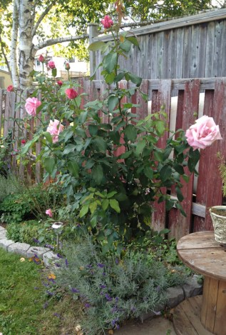 Memorial Day rose in our garden on October 9, 2016. I think it was just the day before the first frost last year.