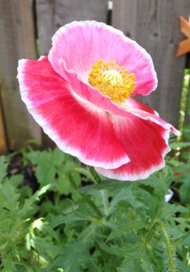 Another view on this different looking poppy flower in our garden.