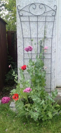 Various poppy flowers growing in our garden.