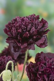 There are even so called Black Peony poppies, as you can see here. They are not really black, but very dark purple. I didn't try them in my garden yet, but I might give them a try this year if I purchase the seeds. This picture is courtesy of Baker Creek Rare Seeds company from USA.