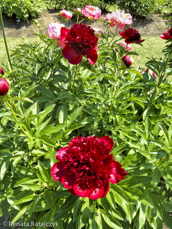 red charm peony of