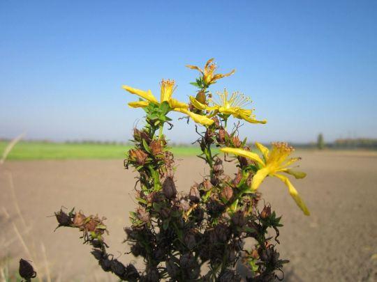 """En farmacias y herboristerías el producto se consigue como """"Hierba de San Juan"""". o """" Hipérico"""", ya sea como hierba natural, en forma de tintura madre o de píldoras."""