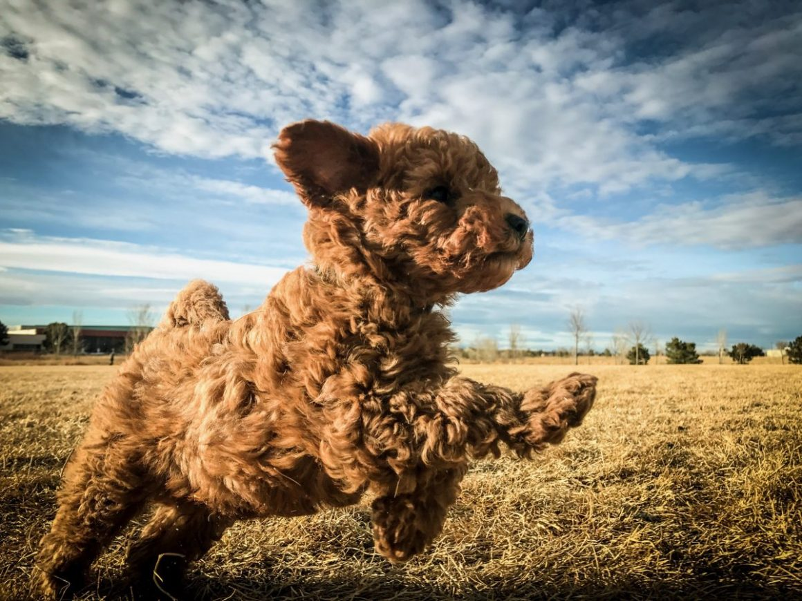 The Dog - Miles the Minidoodle