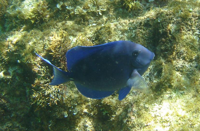 Peixe Azul