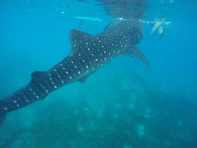 Nadando com tubarões-baleia em Oslob, Cebu