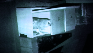 The banded owls are places in modified parakeet nesting boxes outside Pond House so their eyes can readjust to darkness. This owl is about to take wing.