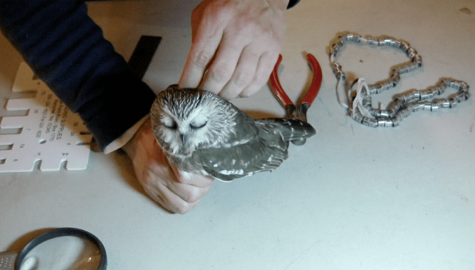 "This owl closes her eyes and leans her head back while being ""preened."""