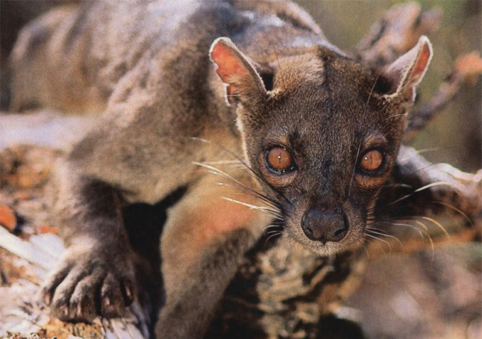 This killing machine called a fossa will go after the biggest prey it can sink its teeth into, even dominant female lemurs in Madagascar's forests. Photo: Roy Toft.