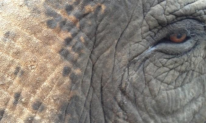 Jeffrey Parish-WWF-Asian elephant closeup