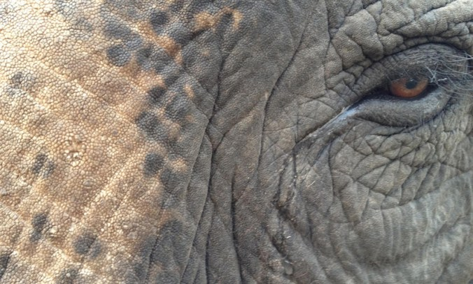 Jeffrey Parish-WWF-Asian elephant closeup