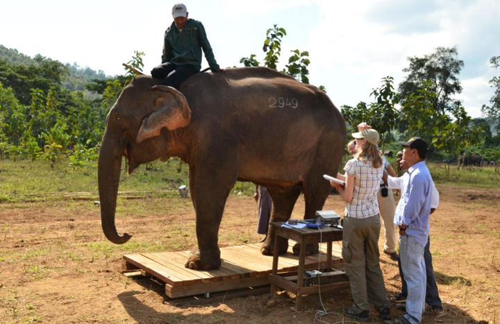 The Half-Captive, Half-Wild Elephants Of Myanmar: A Quirky Road To Survival