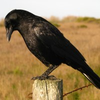 The Secrets Of Gift-Giving Crows