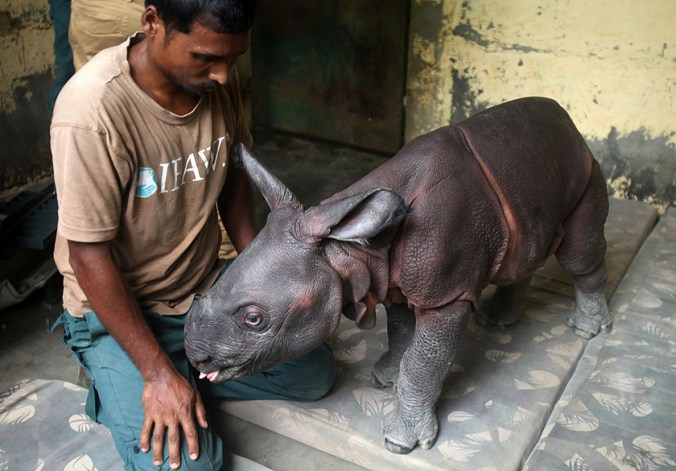 Nearly 2-3 days old male rhino calf found alone in the wilderness of Agoratoli range is rescued by the Kaziranga forest staff and handed over to Centre for Wildlife Rehabilitation and Conservation (CWRC) the IFAW-WTI wildlife care facility for care on Monday,6th July 2015.Photo:Subhamoy Bhattacharjee/IFAW-WTI
