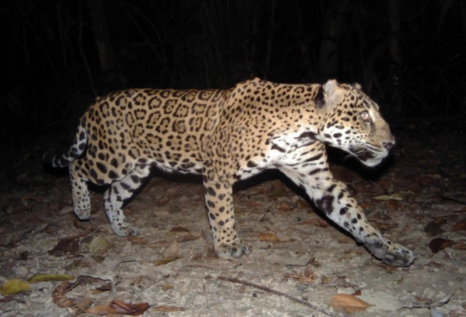 a-jaguar-passes-a-camera-panthera-ub-eri-belize-audubon-society