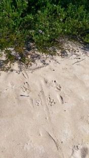 Coast Track Wild Life: Marsupial Track