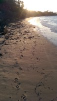 Jibbon Beach: Happy Paw Prints