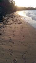 Jibbon Beach: Happy Paw Prints