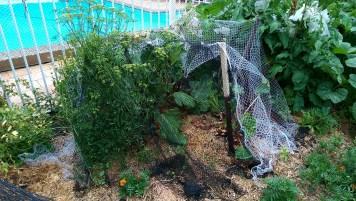 In the Garden: Rhubarb Plants