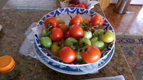 Harvest: Tomatoes
