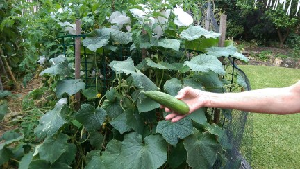 In the Garden: Harvestable Cucumber