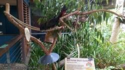 Hartley's Crocodile Adventures, June 2015: Red-Tailed Black Cockatoo