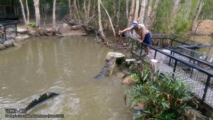 Hartley's Crocodile Adventures, June 2015: Crocodile Feeding Show