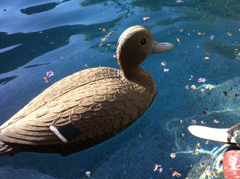 DUCK DECOY IN SWIMMING POOL