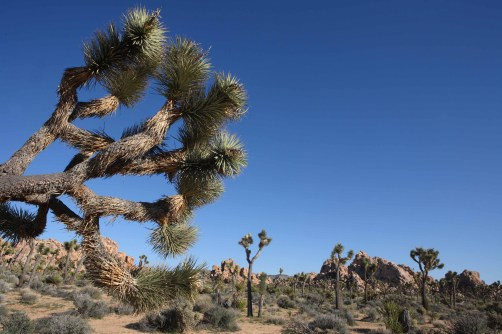 Joshua trees scattered in Joshua Tree NP