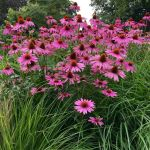 Herb of the Month – Enchinacea