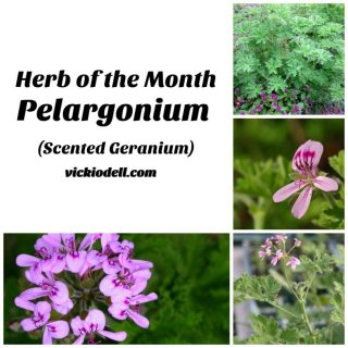 Herb of the Month – Pelargonium