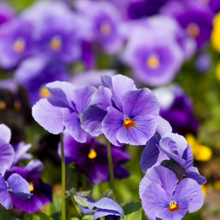 Herb of the Month - Violet