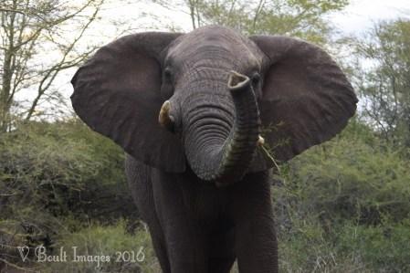A curious Khumbula
