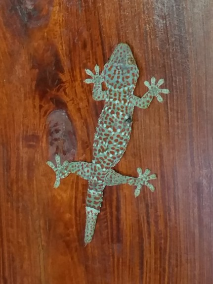 Barking gecko - at least 9 inches long