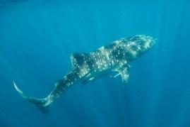 Elegant whale shark