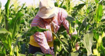 小小農夫︱親子體驗:親手拔酵素栽種、對眼睛好好的無毒玉米筍,最棒的自然教室