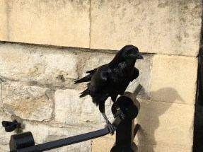 The Ravens of the Tower of London are beautiful and really big