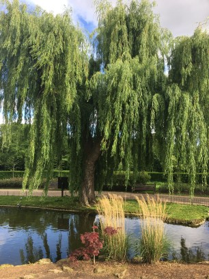 A beautiful weeping willow located next to the pond
