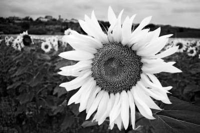 girasol-blanco-y-negro-23792825